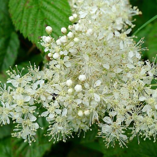 meadowsweet filipendula ulmaria with white flowers