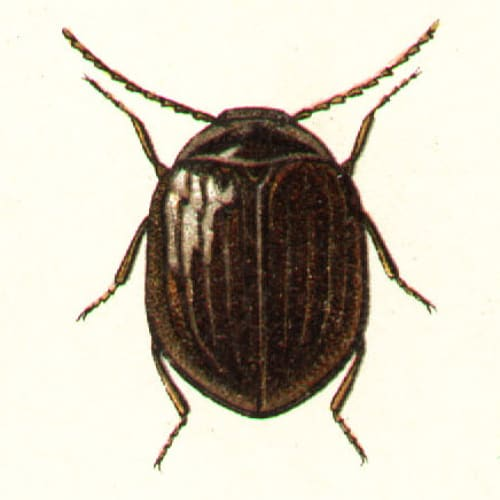 An adult water penny beetle Psephenidae