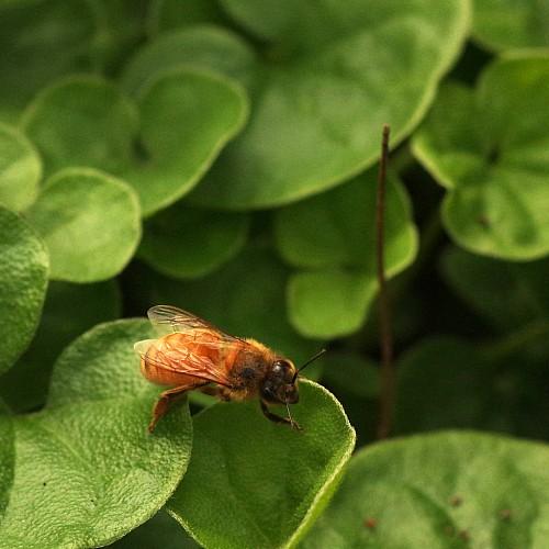 western honey bee on viola hederacea australian violet leaves