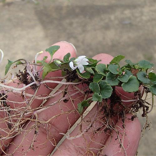 how to transplant australian violets