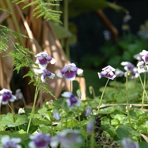 viola hederacea with purple flowers blooming among ferns