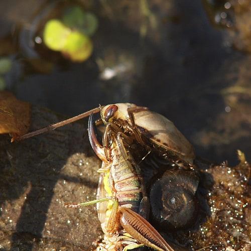 a backswimmer eating a grasshopper