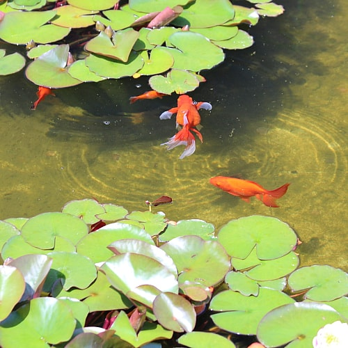 Several large goldfish in a pond with lilypads