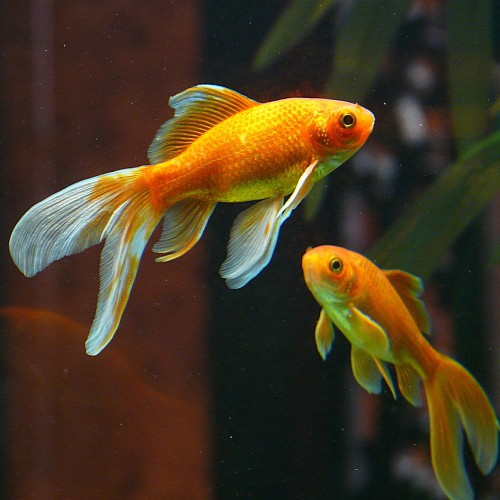 can you eat goldfish