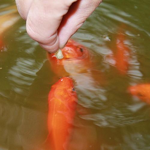 hand feeding goldfish