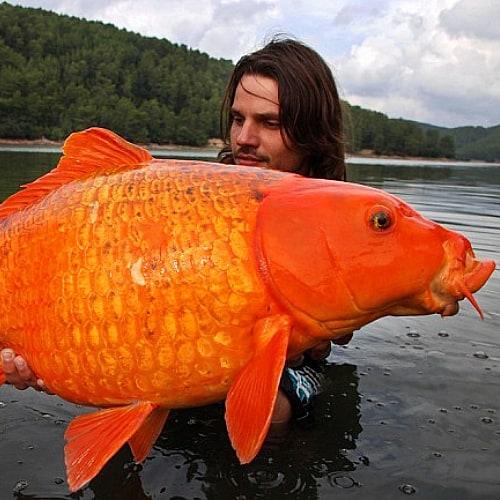 30 pound goldfish caught in wild