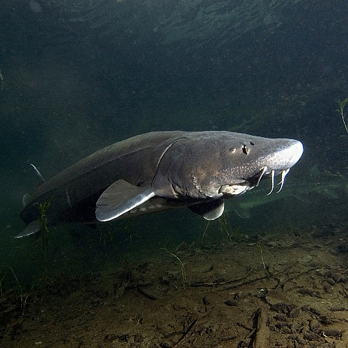 Two white sturgeon swimming in the Columbia River