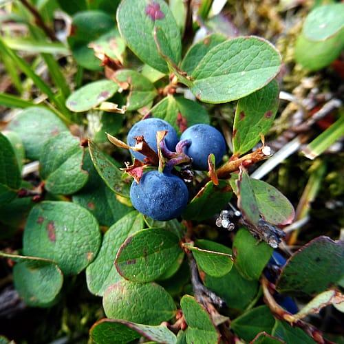 bog blueberry vaccinium uliginosum with berries