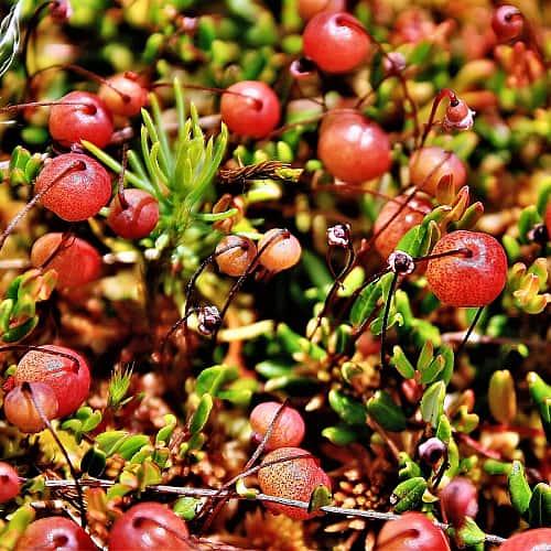 cranberries vaccinium macrocarpon growing in a bog