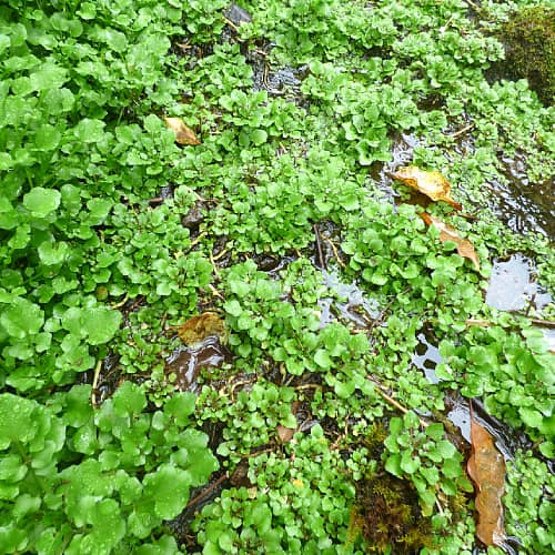 nasturtium officinale watercress growing in a flooded area