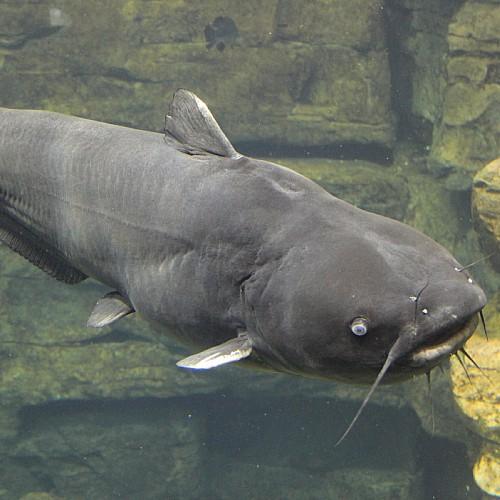 A large adult blue catfish