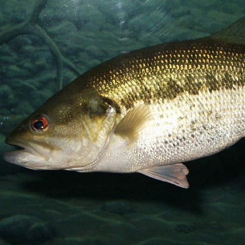 a largemouth bass in lake wateree