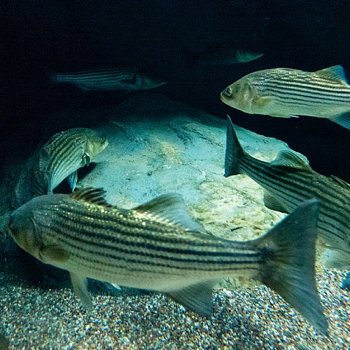 Several striped bass swimming