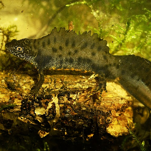 A male great crested newt