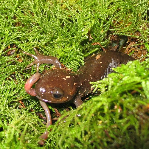 a pacific brown salamander eating a worm in some moss