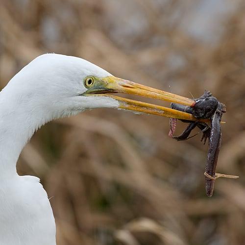 white egret eating a salamander