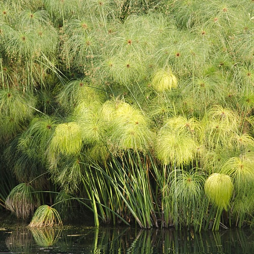 how to grow paper reed cyperus papyrus
