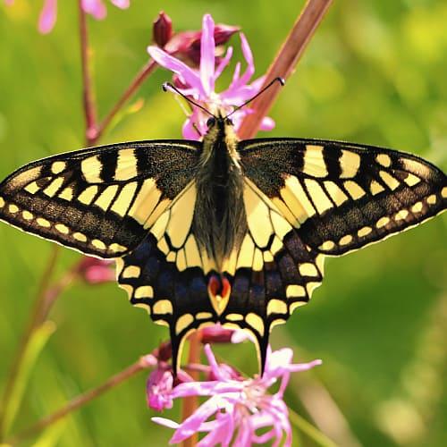 swallowtail butterfly on a ragged robin flower