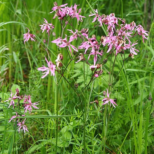 how to plant ragged robin
