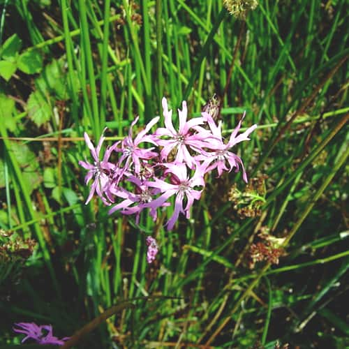 how to grow ragged robin in ponds