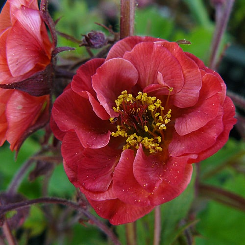 flames of passion water avens in bloom