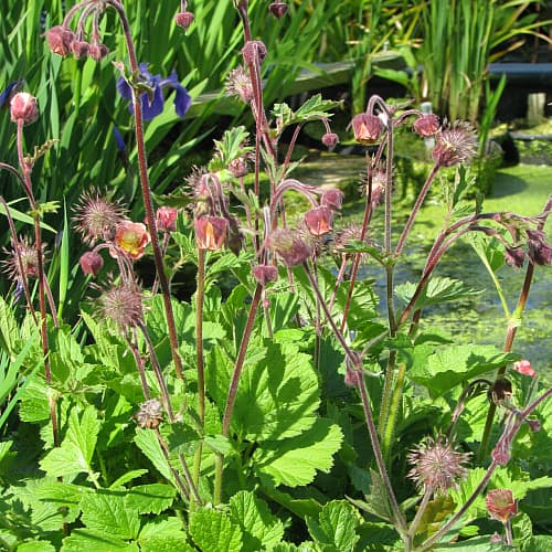 water avens growing on the edge of a garden pond