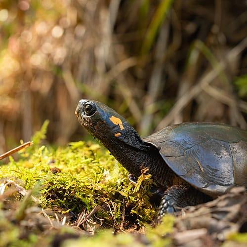 bog turtle in a bog