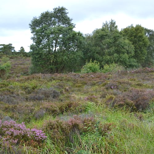 A raised bog with grasses and trees in Corlea, Ireland