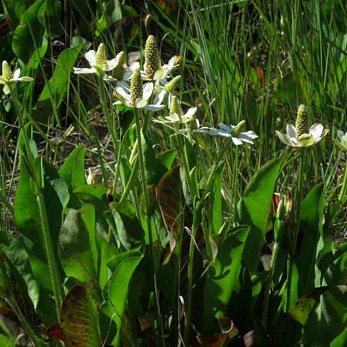 Many yerba mansa plants flowering