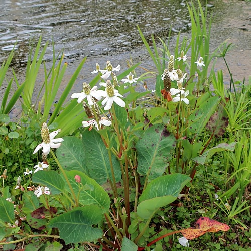 Yerba mansa growing beside a pond