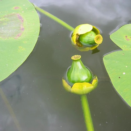 Fruit of the brandy bottle plant coming out of the water