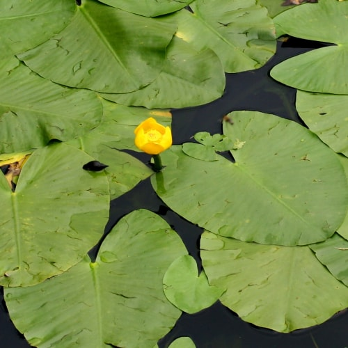 Brandy bottle plant's heart-shaped leaves floating on the water and yellow flower rising above the water