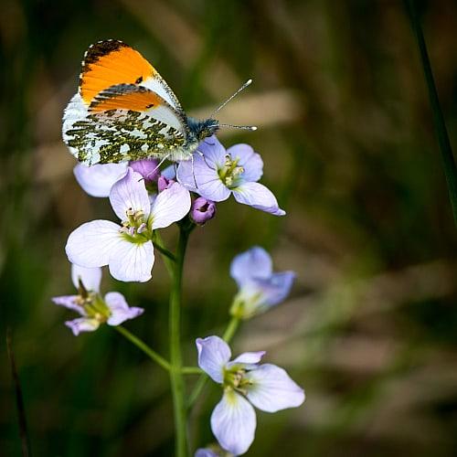 an orange tip butterfly on cuckoo flower