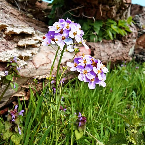 how to care for cuckoo flower