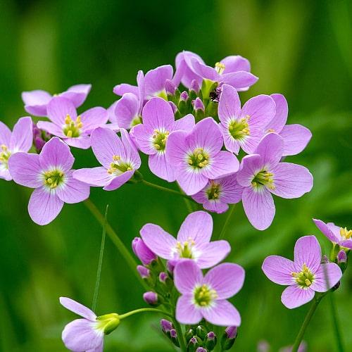 cuckoo flower with purple flowers