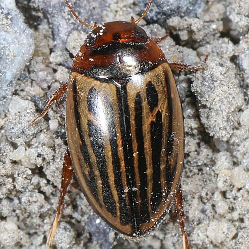 are diving beetles good or bad