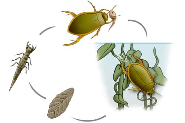 life cycle of diving beetles