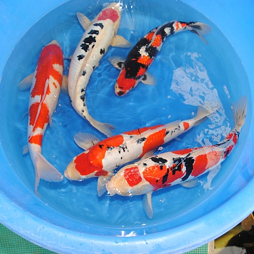 how to breed doitsu koi
