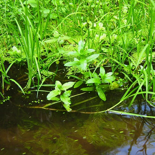 Float grass in water with a number of other plants