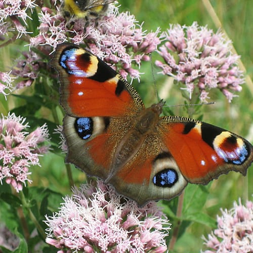 A peacock butterfly on hemp agrimony flowers
