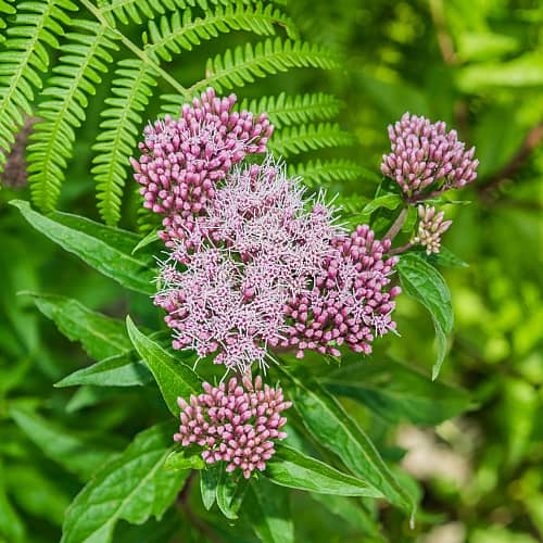 hemp agrimony growing with ferns