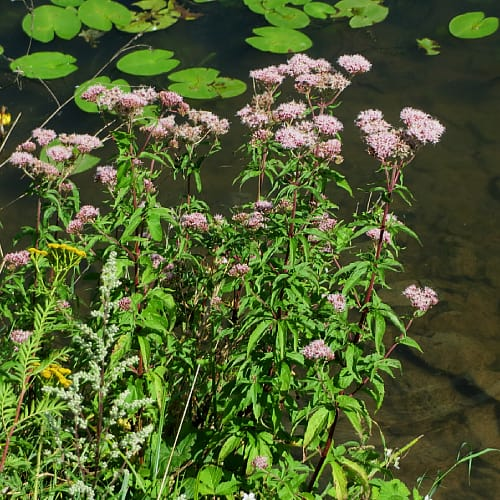 how to plant hemp agrimony in ponds