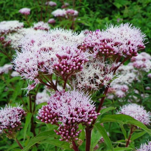 hemp agrimony with pink flowers