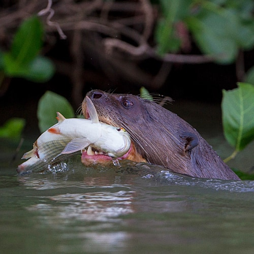 an otter with a fish