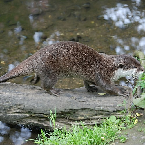 A river otter walking on a log above water