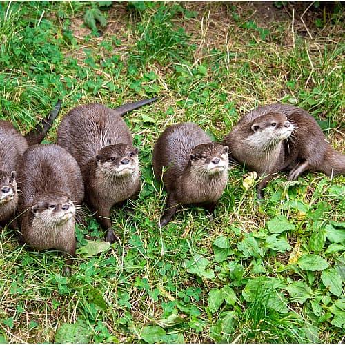 several north america river otters