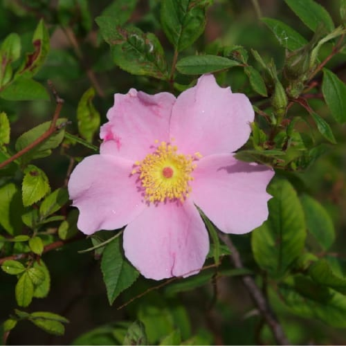 Swamp rose in bloom with a pink flower