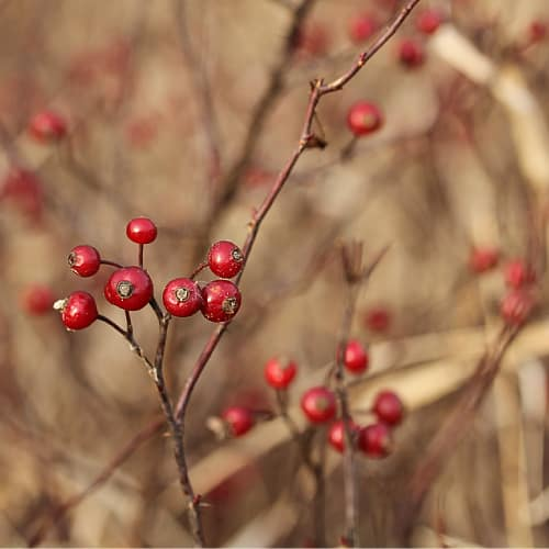 Multiple rosehips on a swamp rose plant