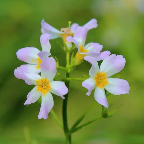 Water violet in bloom with light purple flowers