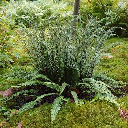 Hard fern plant in woodland